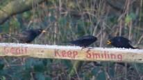IMG_8152 Two male Blackbirds in dispute - Copy