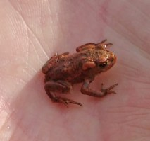 Common Toadlet 2 April 25th 2019