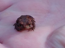 Common Toadlet April 25th 2019