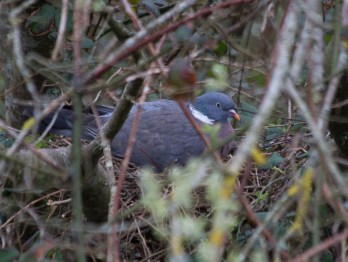 IMG_8327 Woodpigeon sitting on nest - Copy