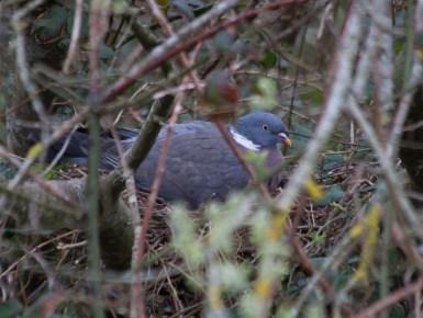 IMG_8327 Woodpigeon sitting on nest - Copy