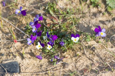 IMG_8449 Wld Pansy in dunes - Copy