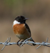 IMG_8458 Male Stonechat - Copy