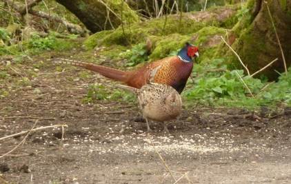 P1020538Cock and Hen Pheasant 29th March 2019 - Copy