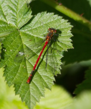 IMG_8567 Large Red Damselfly - Copy