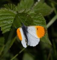 IMG_8568 Male Orange tip - Copy