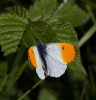 IMG_8568 Male Orange tip - Copy