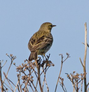 IMG_8578 Meadow Pipit with ring - Copy