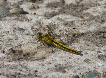 IMG_9058 Black-tailed Skimmer 7th July 2019 - Copy