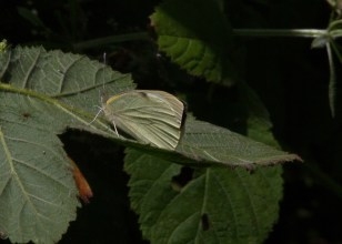 IMG_9137 Large White butterfly - Copy