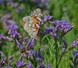 IMG_9249 Painted Lady feeding on Sea Lavender - Copy