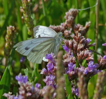 IMG_9263 Green-veined White feeding on Sea Lavender - Copy