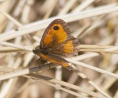 IMG_9266 Worn Gatekeeper on dried grass - Copy