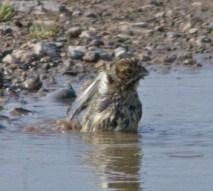 IMG_9332 House Sparrow having a bath - Copy