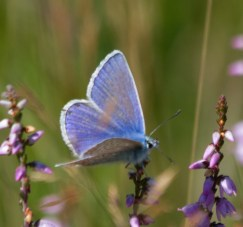 IMG_9388 Male Common Blue on heather - Copy