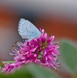 IMG_9671Holly Blue in garden 13th Sept 2019 - Copy