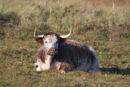 IMG_9712 Lomghorn cow lying down 28th Oct 2019 - Copy