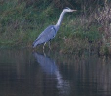 IMG_9749 Heron on fishing pond - Copy