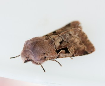 IMG_0276First moth hunt N End 2020 21-22 March Hebrew Character - Copy
