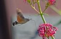 IMG_0953Humming bird hawk moth in garden 8th August 2020 edited