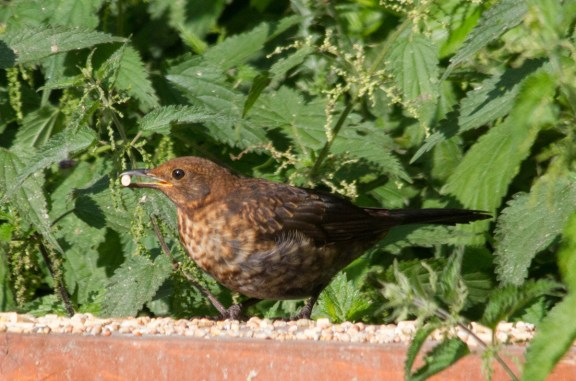 IMG_0991 Young Blackbird on Geoff's bench 9th August 2020 edited