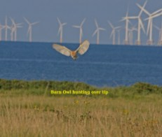 IMG_1050 Barn Owl hunting over tip 15th August 2020 named - Copy