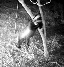 VD_00048Badger Climbs tree_ 1 (00.00.10.033)cropped copy
