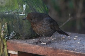 IMG_1297 Blackbird on Geoff's seat 9th January 2021 - Copy