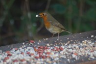 IMG_1303Robin on with suet pellet on Geoff's seat 9th January 2021 - Copy
