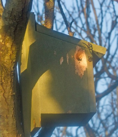 IMG_1314 Woodpecker damage to bird box No 4 on the 12th Jauary 2021 - Copy