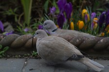 IMG_1401 A Pair of Collard Dove in garden 6th March 2021