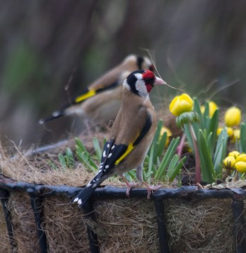 IMG_1416 A pair of Goldfinch collecting nesting material in garden 6th March 2021