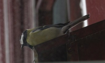 IMG_1433 Great Tit on top of bird box 18th March 2021
