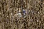 IMG_1479 Swan nesting on Fishing pond 3rd April 2021 - Copy