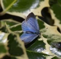 IMG_4577 Female Holly-blue garden 28-5-2017
