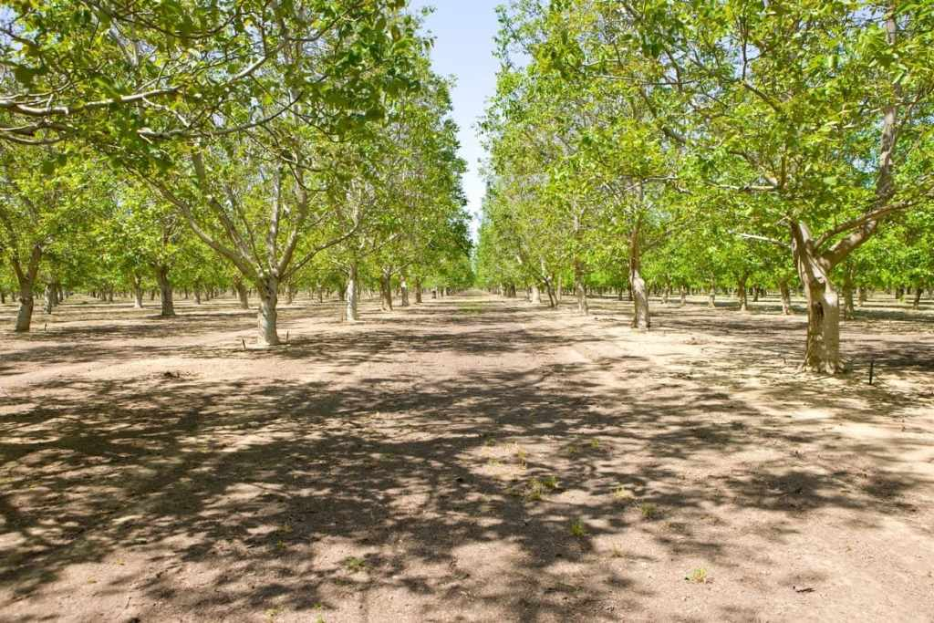 California walnut orchard