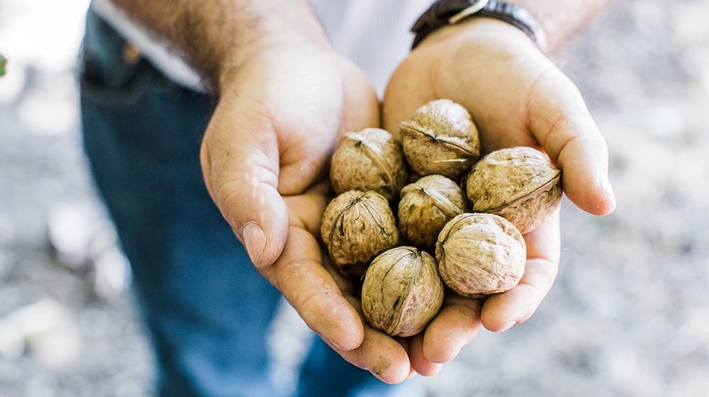 walnut farmer hands