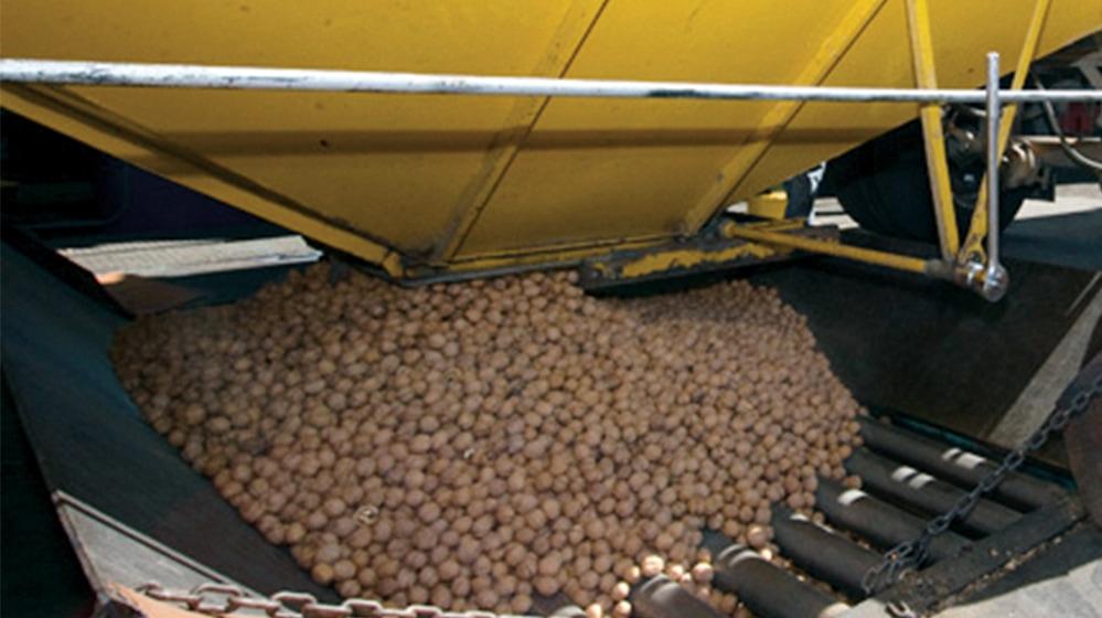 grading walnuts