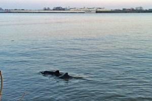 Zwei Schweinswale schwimmen ganz dicht am Elbufer, beide Tiere sind eng zusammen, die Finnen und Rücken sind deutlich aus dem Wasser