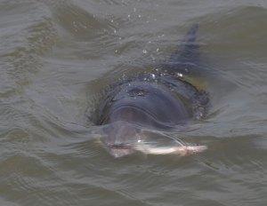 """Direktor des Aquarium Wilhelmshaven fotografierte einen Schweinswal direkt vor der """"Haustür"""" mit Fisch im Maul"""