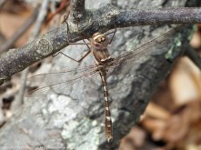 Stream Cruiser dragonfly (male)