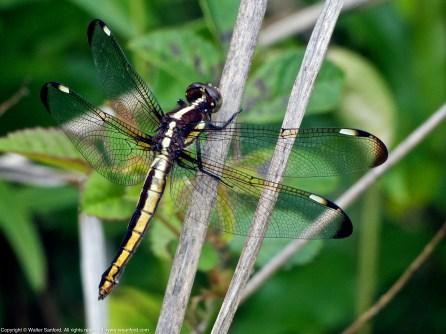 Spangled Skimmer dragonfly (female)