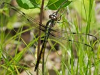 Great Blue Skimmer dragonfly | immature male