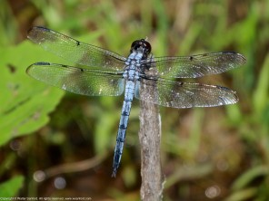 A Bar-winged Skimmer dragonfly (Libellula axilena) spotted at Huntley Meadows Park, Fairfax County, Virginia USA. This individual is a mature male.