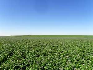 Walther Farms Potato Field in Colorado