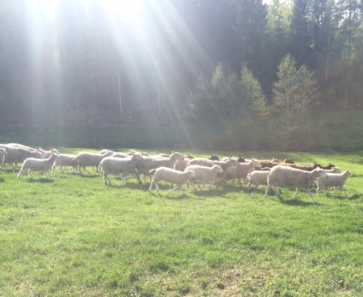 A flock of sheep in the pasture. The sun is shining on them.