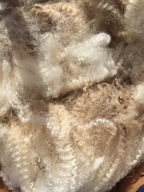 A raw fleece of crimpy finewool