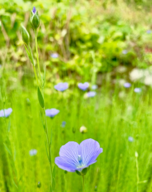 A small flax field in bloom
