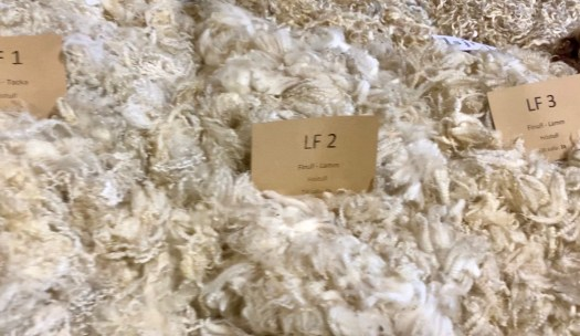 Heaps of white wool. The staples are short with lots of crimp.