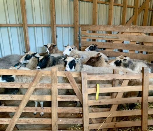 The sheep are in the pen, reluctantly ready for shearing day.
